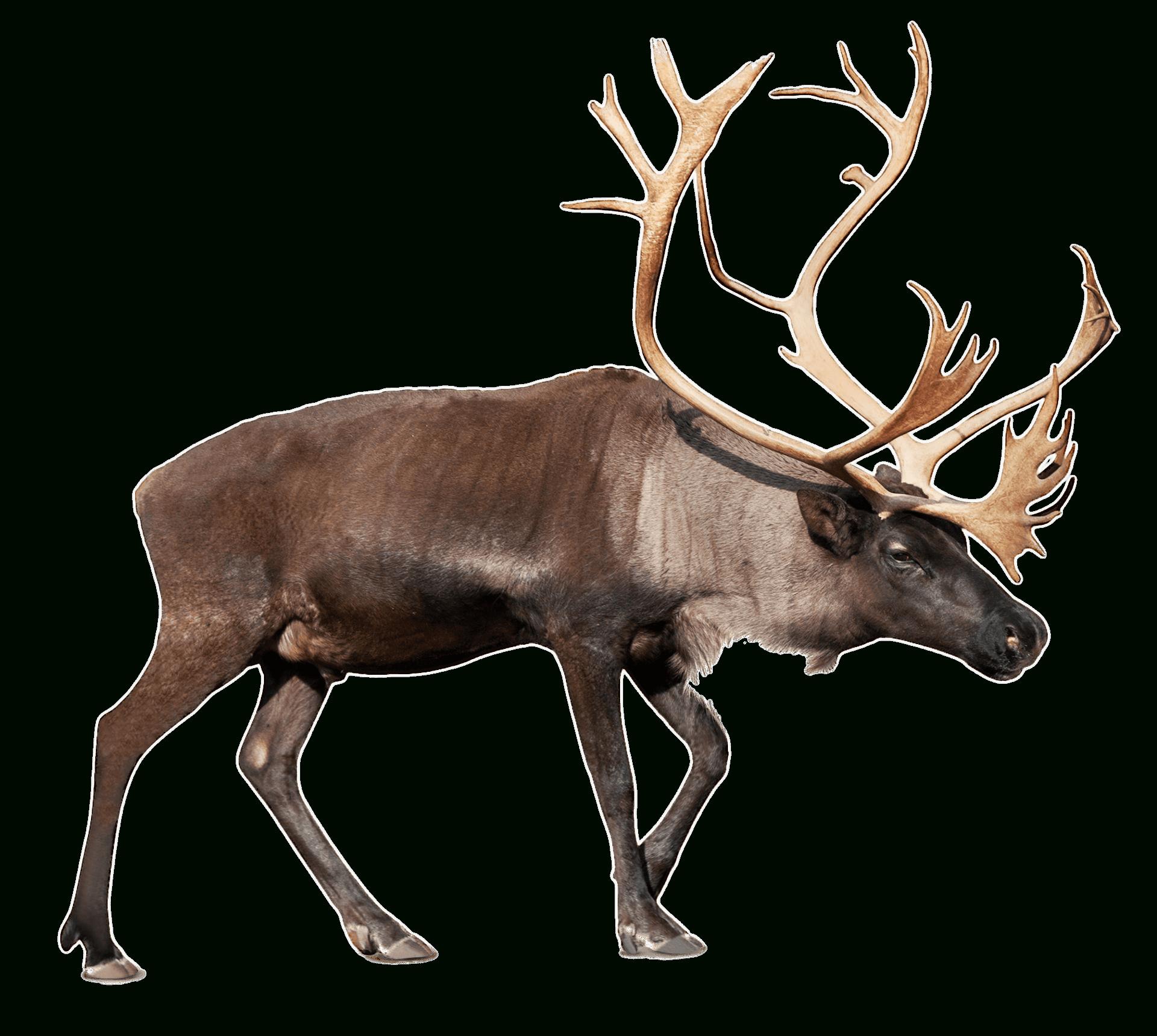 Grand Renne (Caribou) Png Transparents - Stickpng encequiconcerne Caribou Dessin