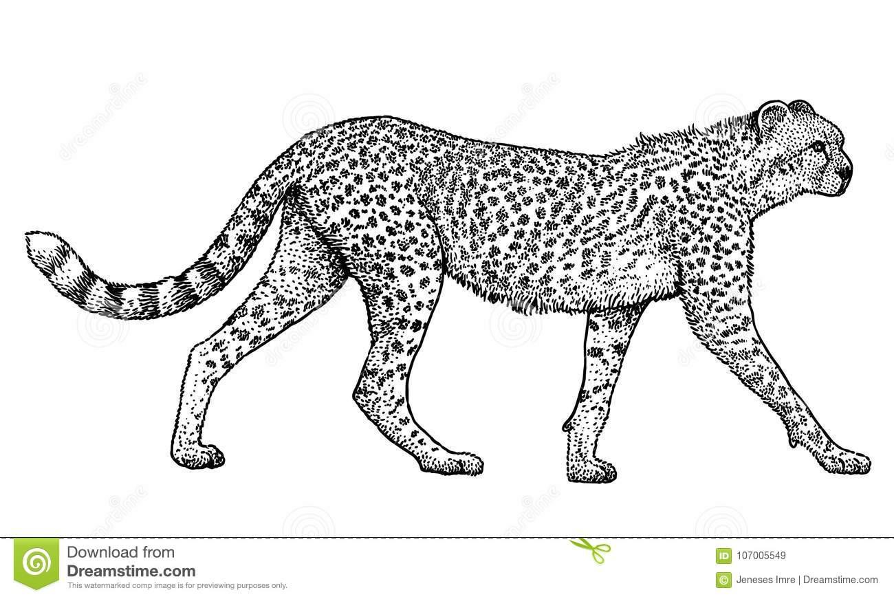 Guépard, Animal, Illustration Mammifère, Dessin, Gravure destiné Guépard Dessin
