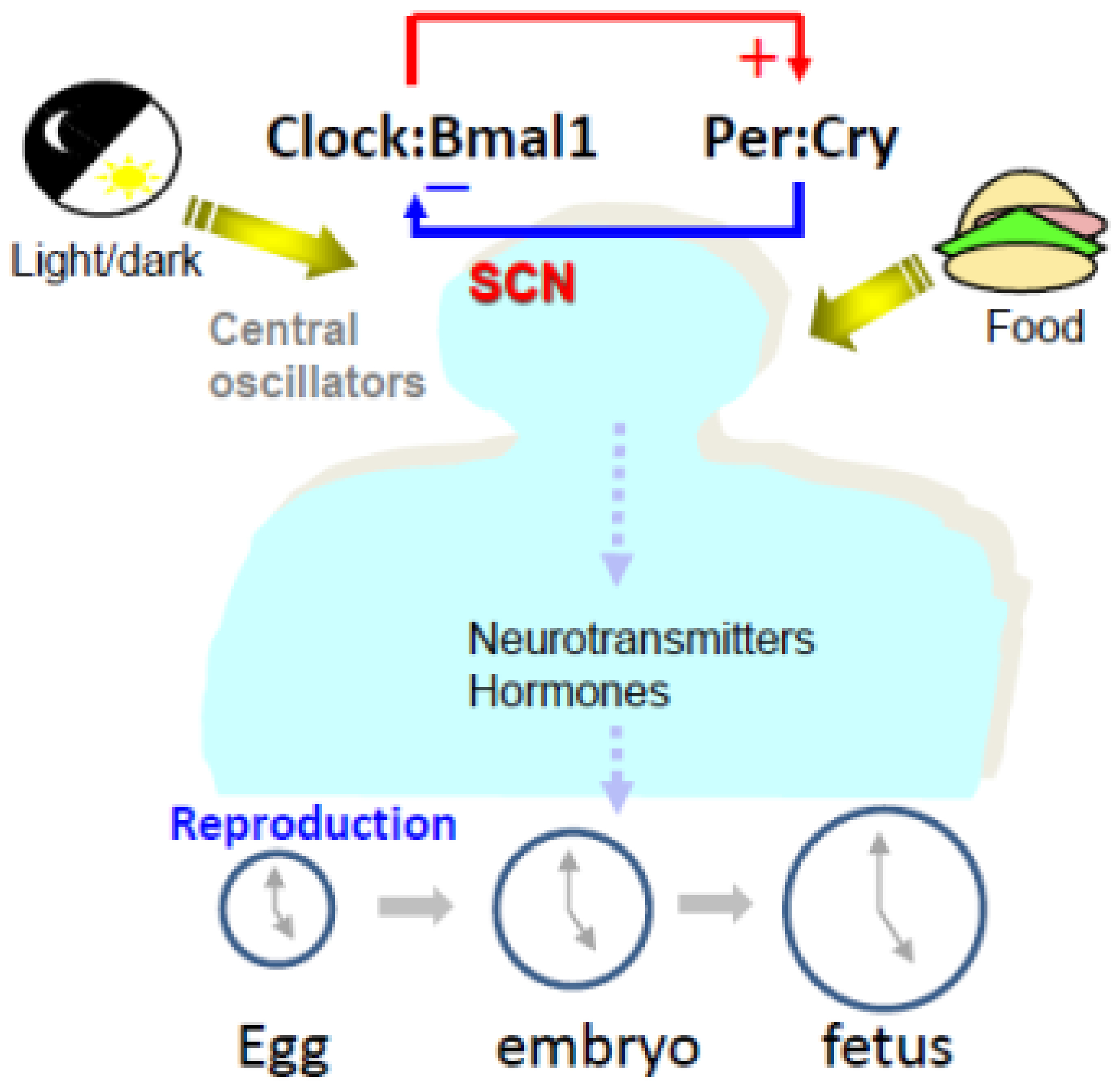 Ijms | Free Full-Text | Circadian Clock, Time-Restricted concernant Reproduire Une Figure