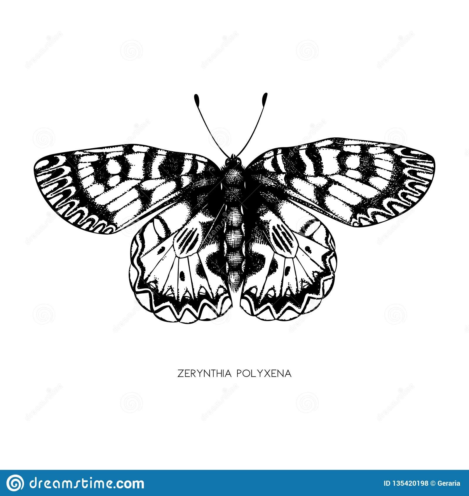 Illustration Détaillée Élevée De Polyxena De Zerynthia encequiconcerne Papillon À Dessiner
