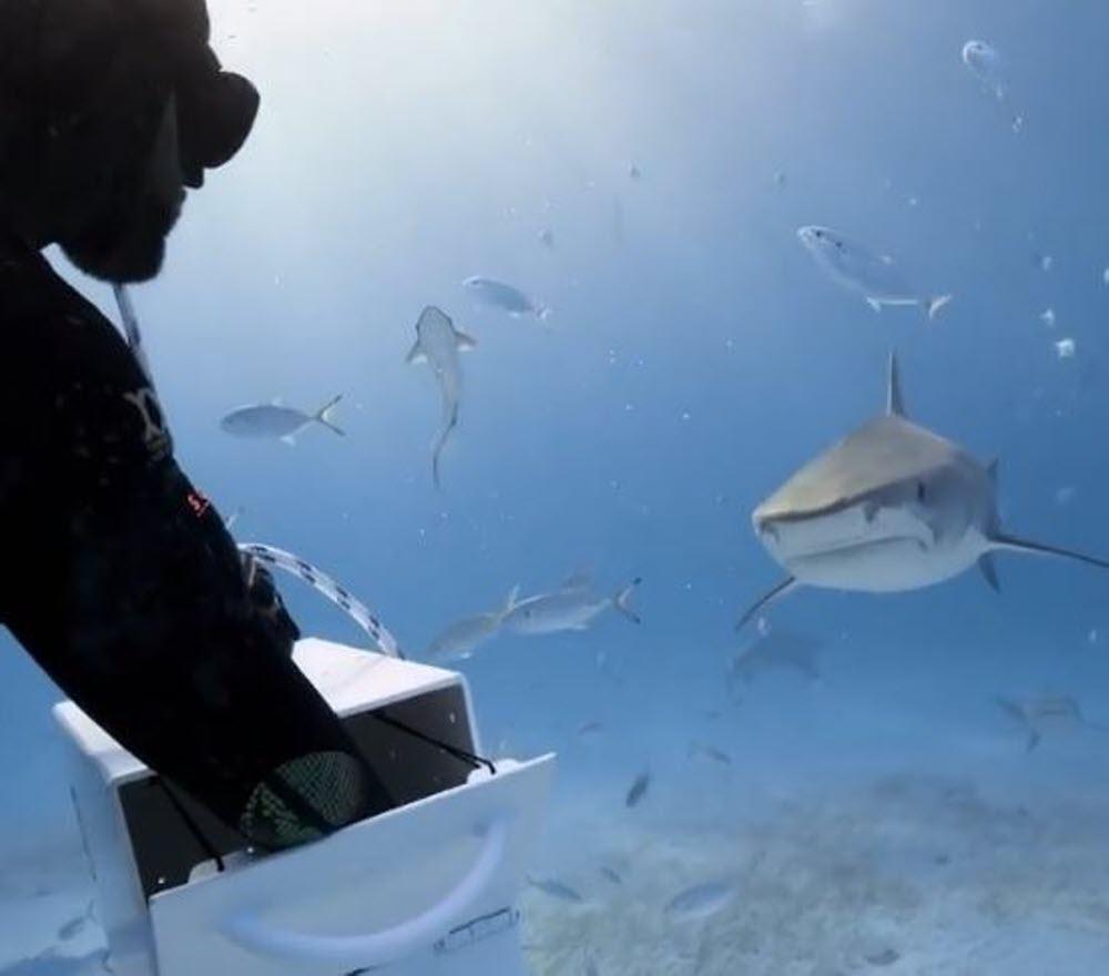 Insolite | [Vidéo] Un Plongeur Nourrit Un Requin-Tigre concernant Requin Jeux Video