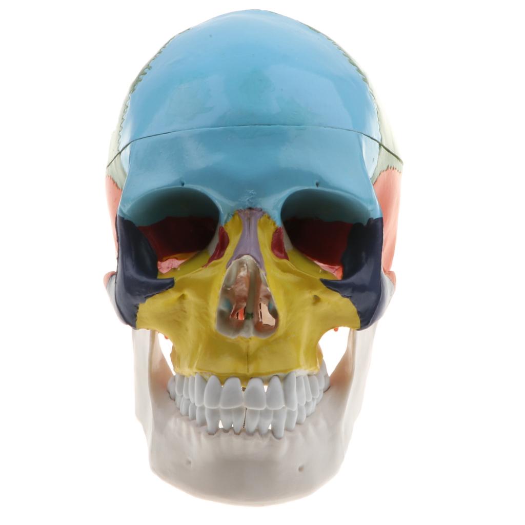 Jeu D'apprentissage 1 Squelette De Crâne De Tête Humaine destiné Jeux De Squelette Gratuit