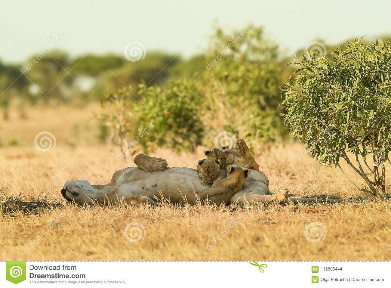 Jeux Du ` S De Lion Dans La Savane Photo Stock - Image Du destiné Jeux De Savane
