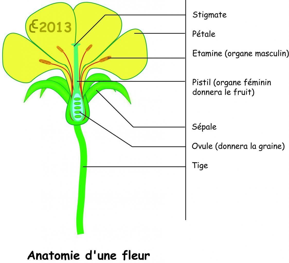 La Formation Des Graines concernant Schéma D Une Fleur