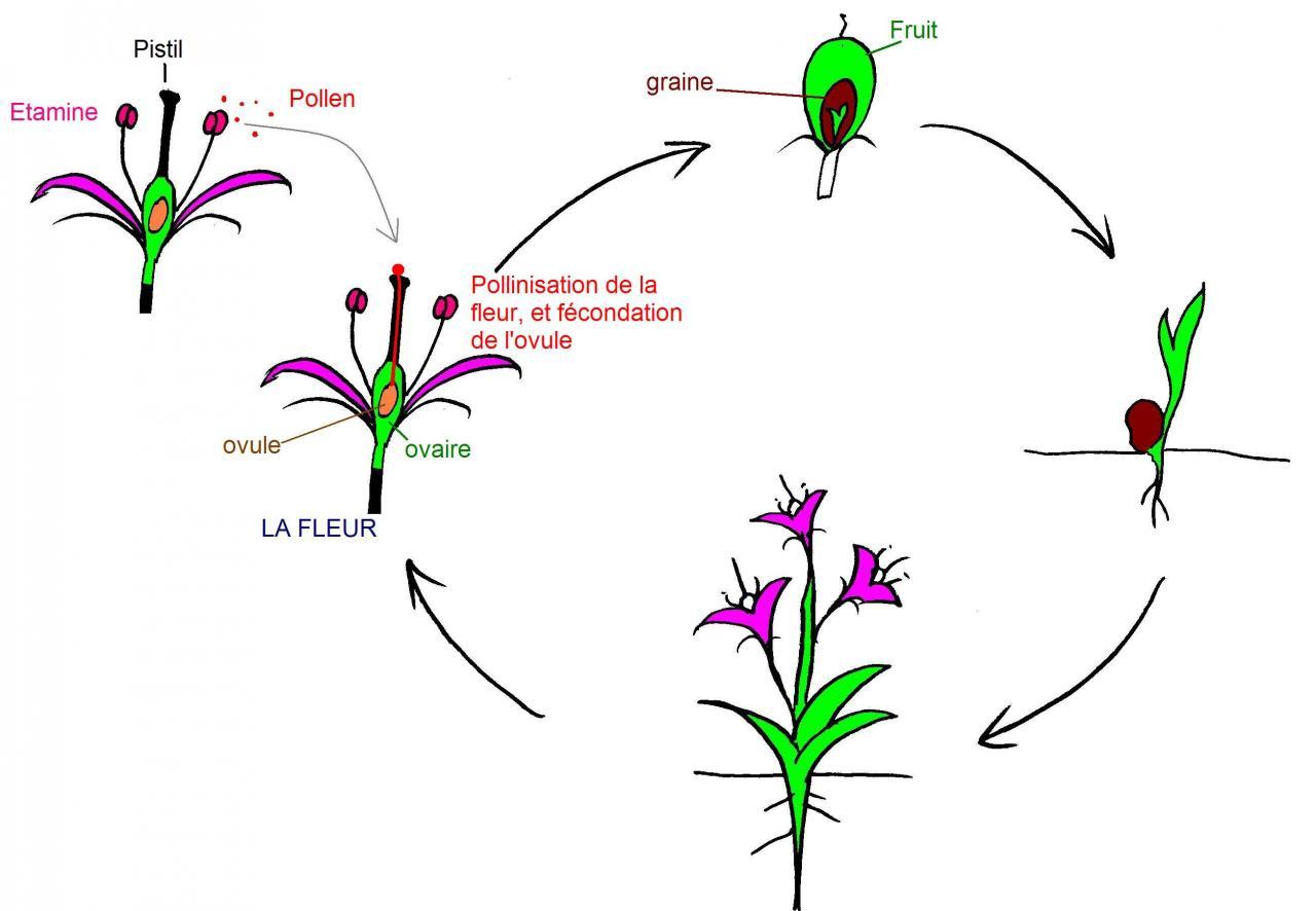 La Formation Du Fruit pour Schéma D Une Fleur