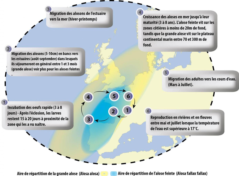 La Grande Alose destiné Les Fleuves En France Cycle 3