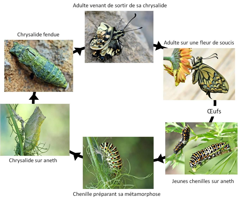 La Pollinisation Menacée ? | Vigie-Nature École pour Cycle De Vie D Une Chenille