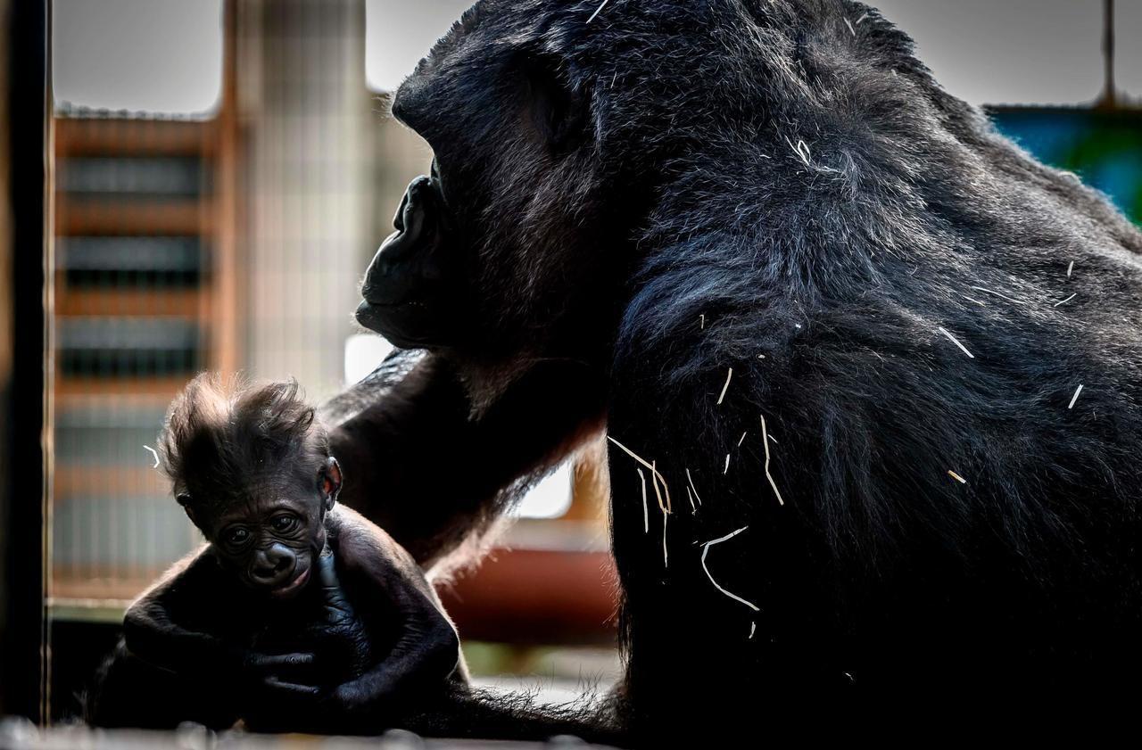 Le Bébé Gorille D'un Zoo De La Loire Est Mort - Le Parisien avec Jeux De Gorille Gratuit