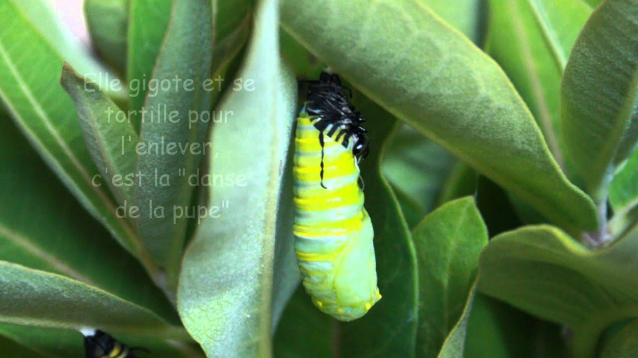 Le Cycle De Vie Des Papillons Monarque avec Cycle De Vie D Une Chenille