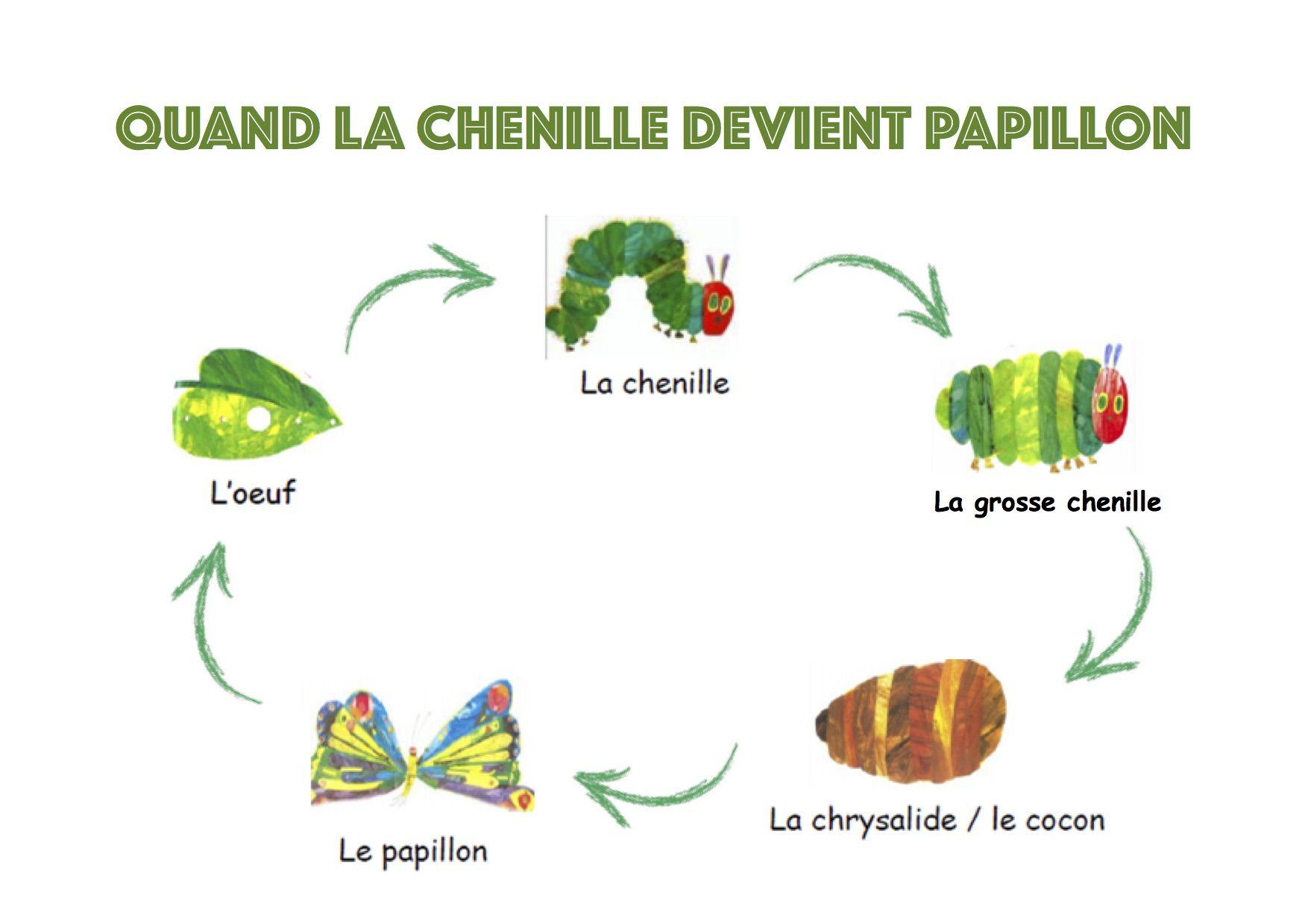 """Le Cycle De Vie Du Papillon Avec Les Images Du Livre """"la avec Cycle De Vie D Une Chenille"""