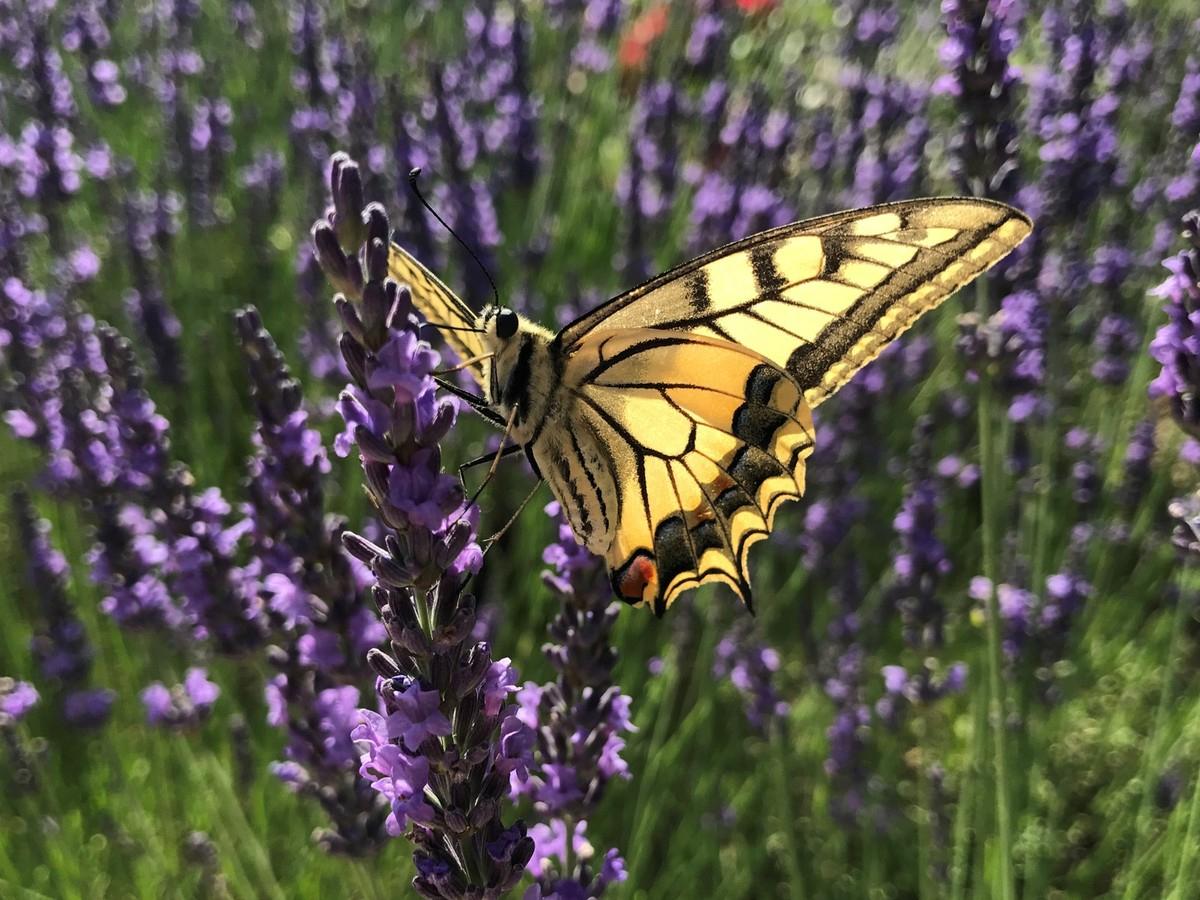 Le Cycle De Vie Du Papillon - Oiseaux Et Papillons Au Jardin serapportantà Cycle De Vie D Une Chenille