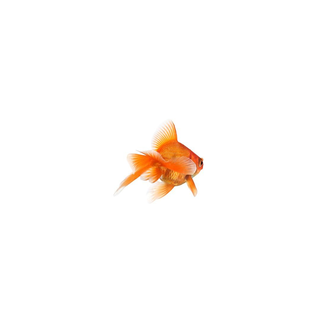 Le Poisson Rouge - Fiche Conseils - Animaleco encequiconcerne Poisson Rouge Jeux Gratuit En Ligne