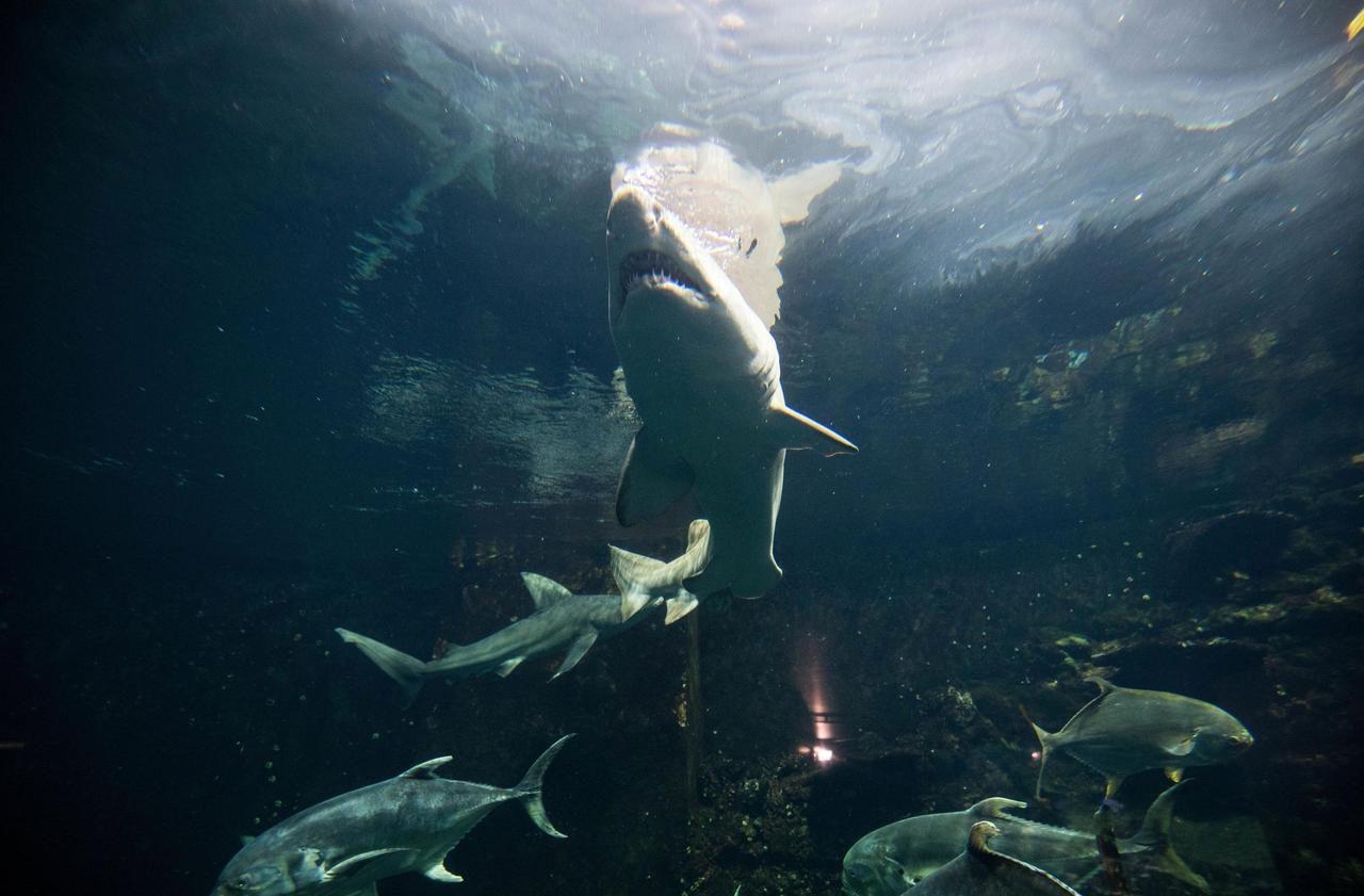 Le Requin, Super-Prédateur En Danger : Pourquoi Il Est avec Jeux Gratuit Requin Blanc