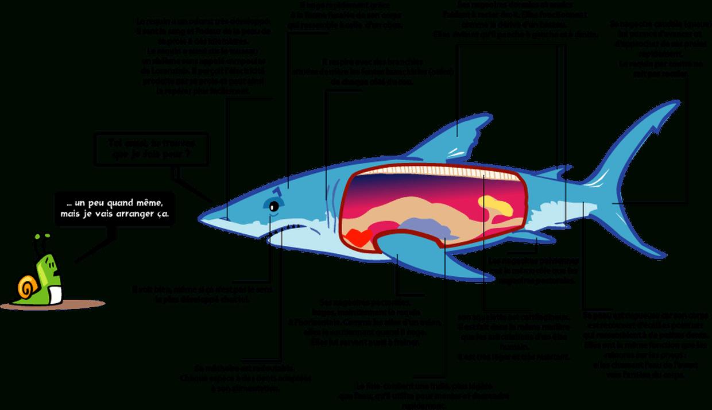 Le Requin, Un Poisson Étonnant ! à Coloriage Requin Blanc Imprimer
