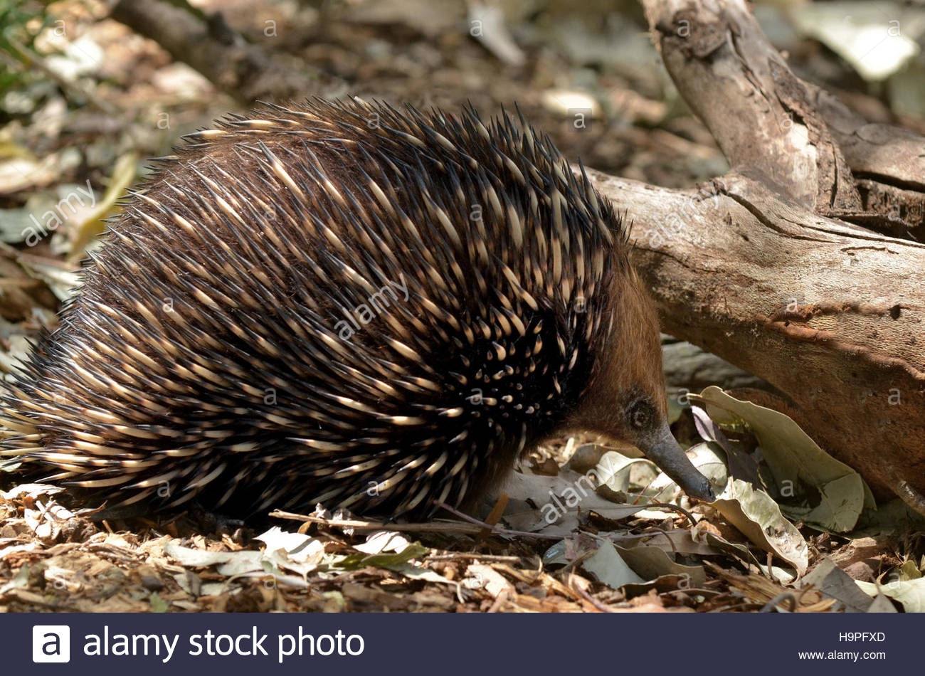 L'échidné Fourmiliers ), Vivre En Australie Et Nouvelle encequiconcerne Animaux Qui Pondent Des Oeufs