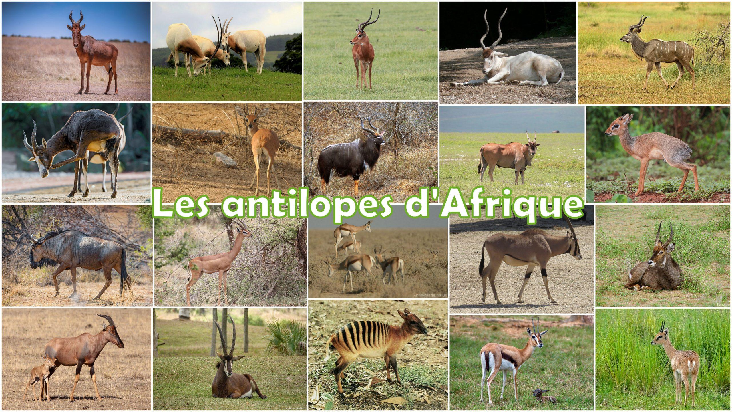 Les Antilopes D'afrique - 700 Fiches Animaux À Découvrir pour Les Animaux De L Afrique