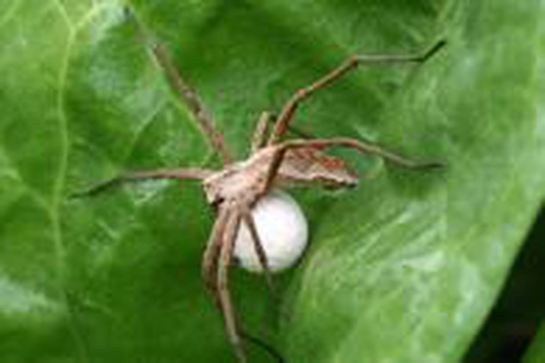 Les Araignées Pondent-Elles Sous La Peau ? tout Animaux Qui Pondent Des Oeufs