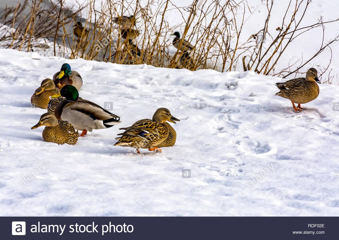 Les Canards Sauvages Qui Hivernent Dans La Région De Saint intérieur Les Animaux Qui Hivernent