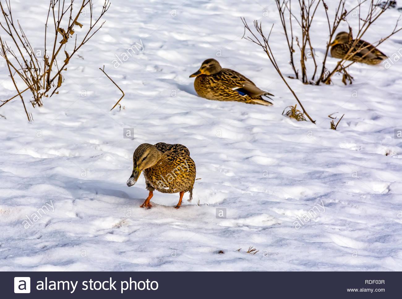Les Canards Sauvages Qui Hivernent Dans La Région De Saint serapportantà Les Animaux Qui Hivernent