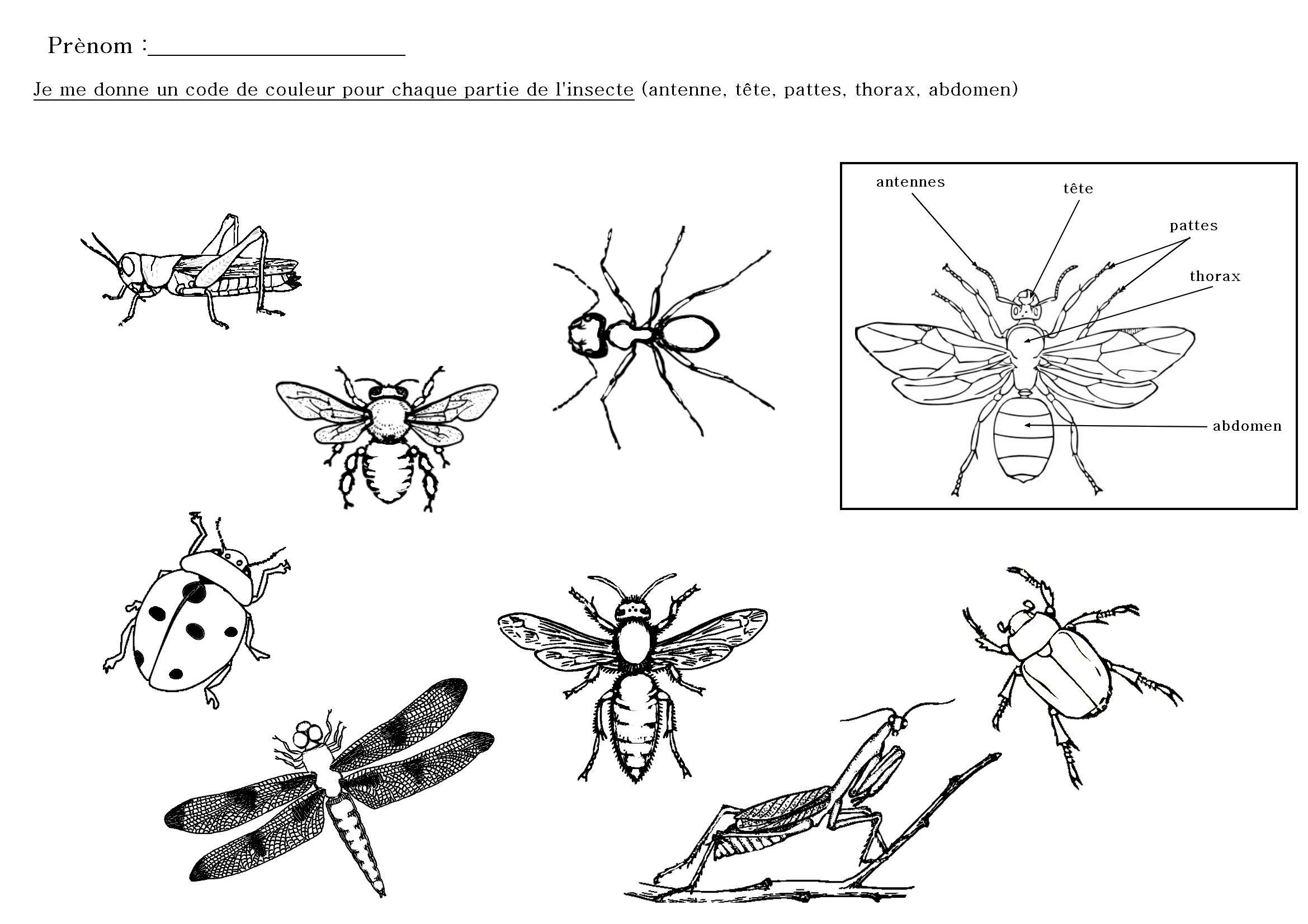 Les Différentes Parties Des Insectes À Colorier | Insectes dedans Coloriage Corps Humain Maternelle