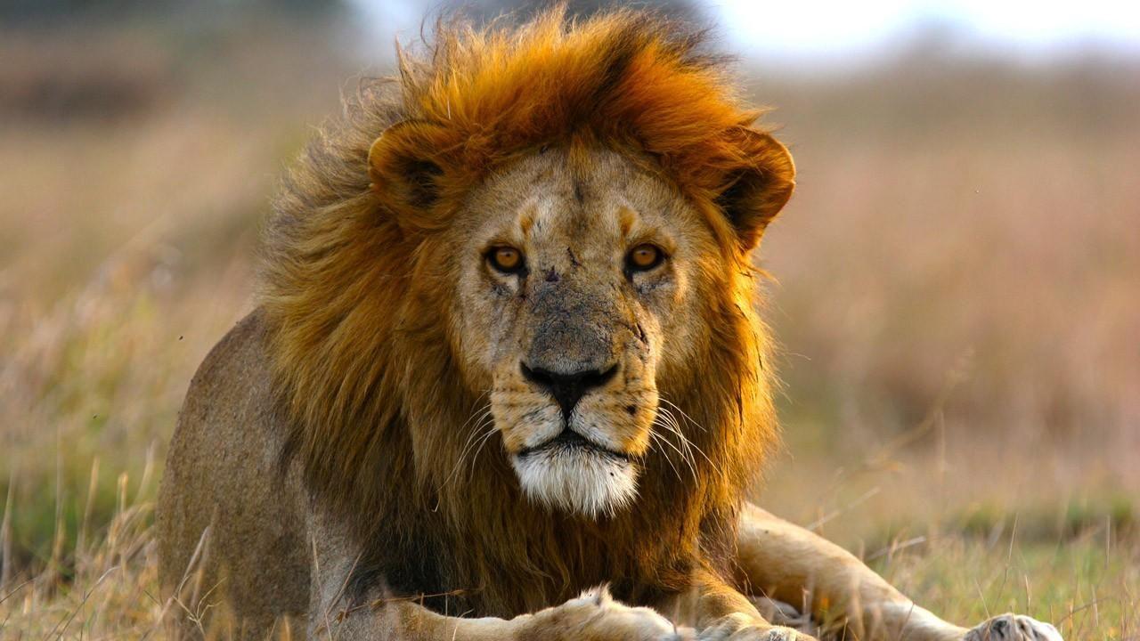 Les Lions D'afrique Pourraient Disparaître Avant 2050 tout Les Animaux De L Afrique