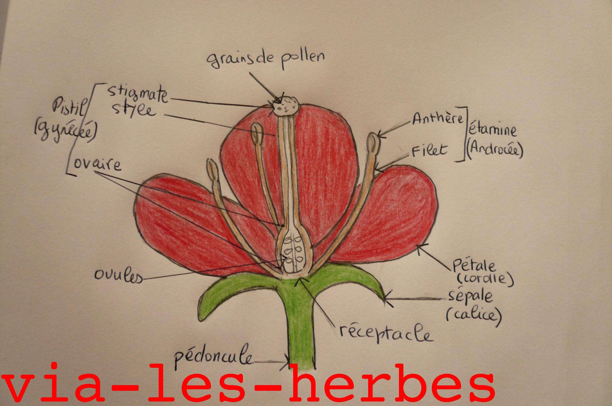 Les Plantes De La Famille Des Astéracées | Via-Les-Herbes concernant Schéma D Une Fleur