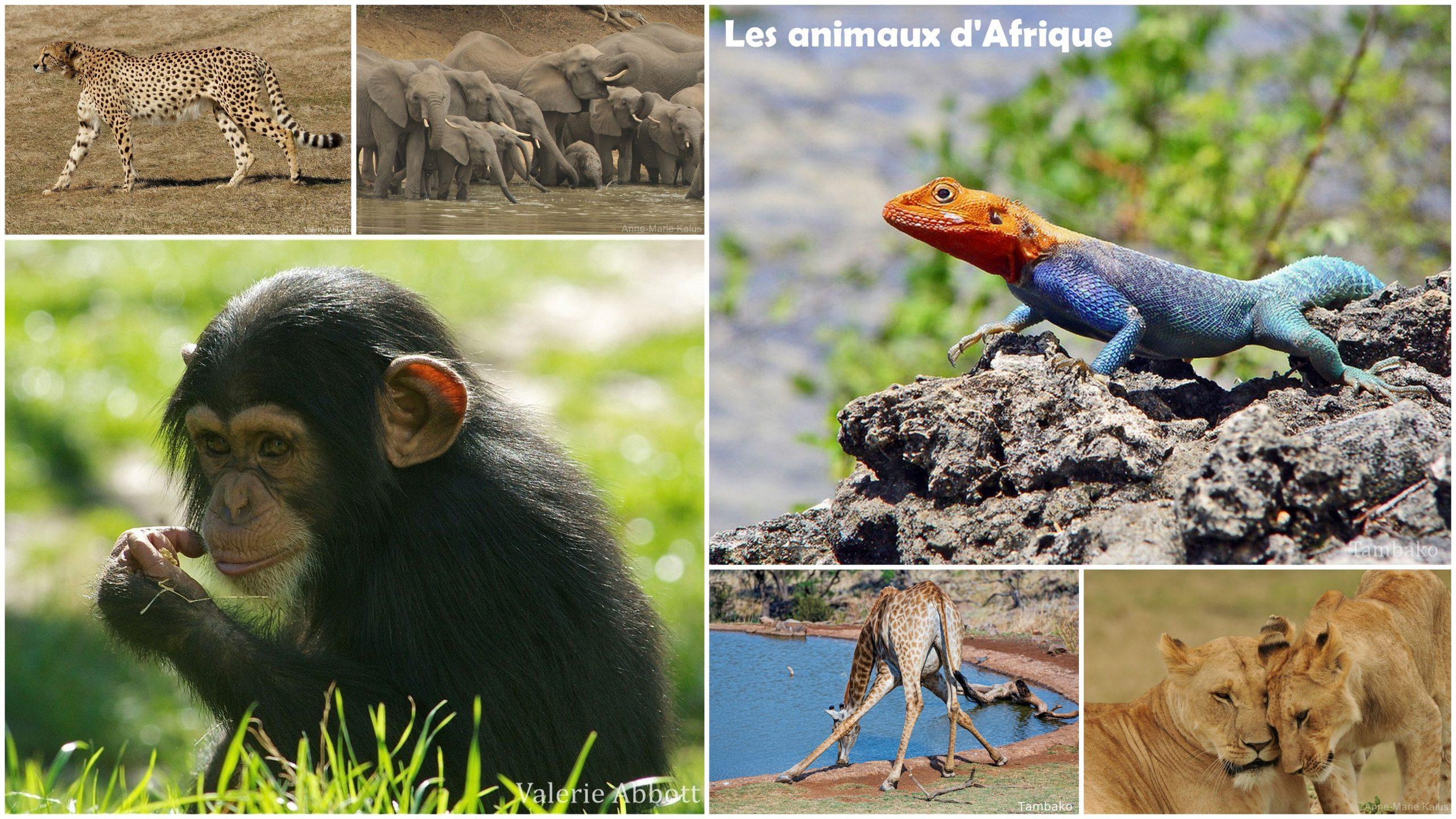 Liste Des Animaux D'afrique - 700 Fiches Animaux À Découvrir dedans Les Animaux De L Afrique