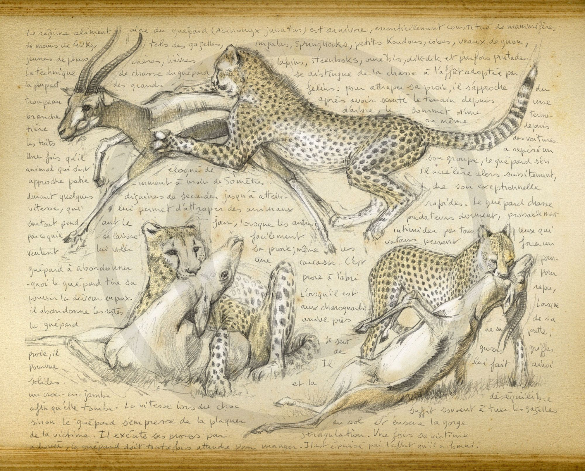 Oo Marcello Pettineo Oo< 216 - Guépard 7 | Croquis Animaux à Guépard Dessin