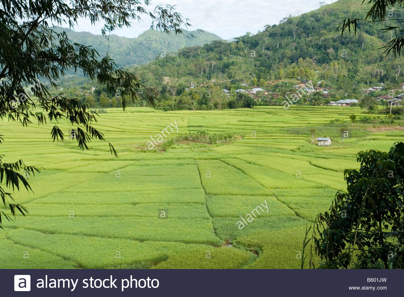 """Paddy Fields In """"spiders' Web"""" Patterns (Flores - Indonesia à Dessin Toile Araignée"""