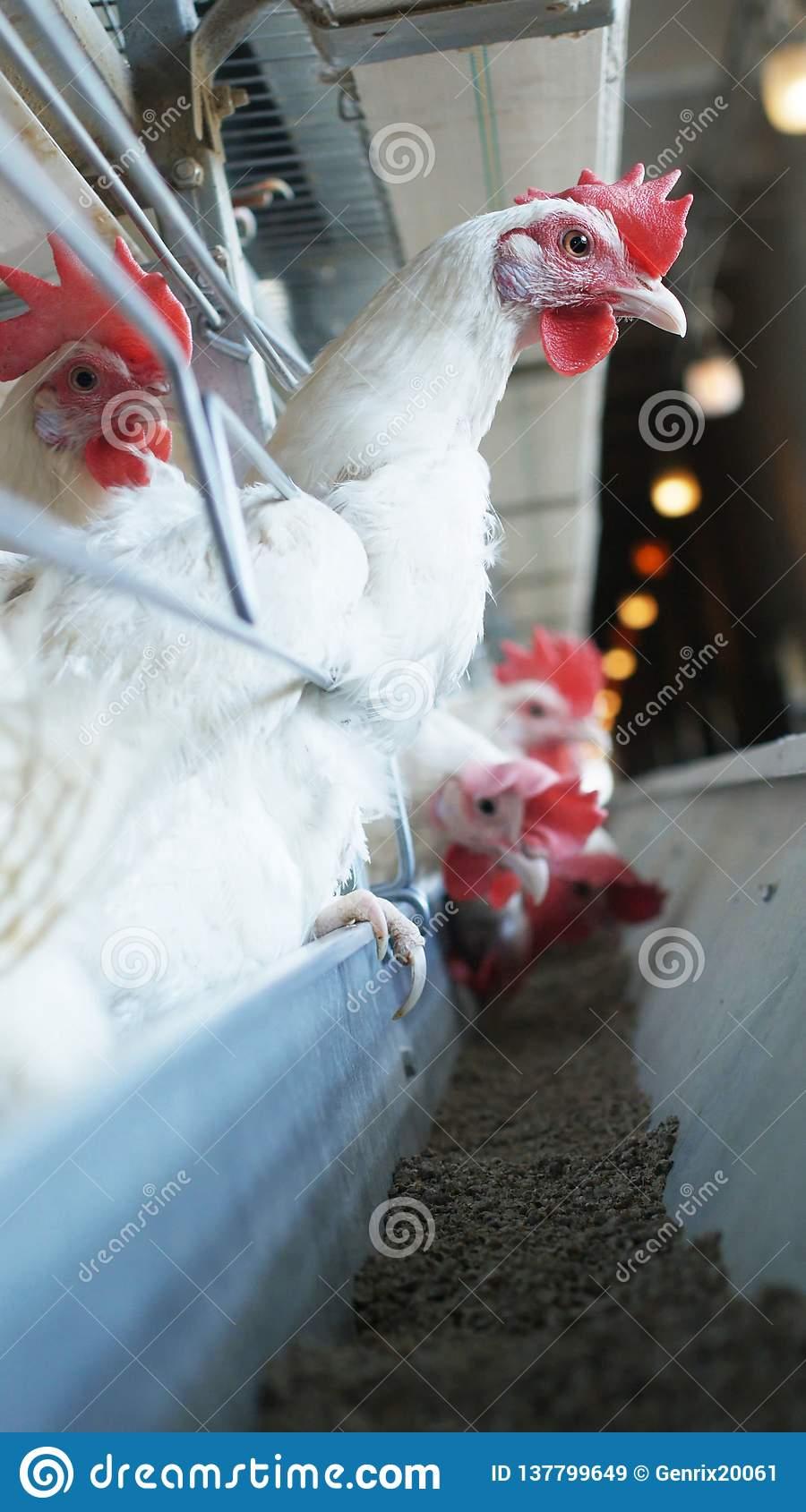 Poulets Blancs Qui Pondent Des Oeufs À Une Ferme Avicole à Animaux Qui Pondent Des Oeufs