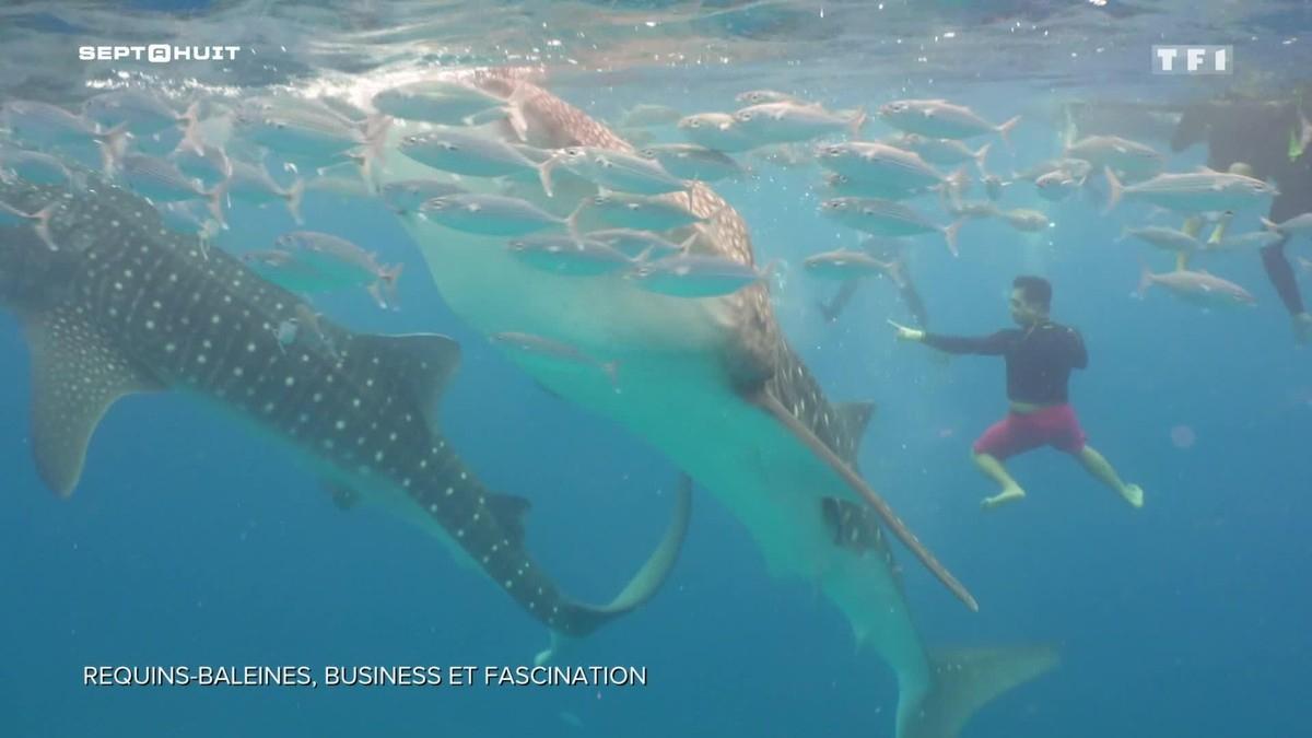 Pourquoi Les Requins-Baleines Suscitent-Ils La Fascination Des Touristes ? dedans Jeu De Societe Requin