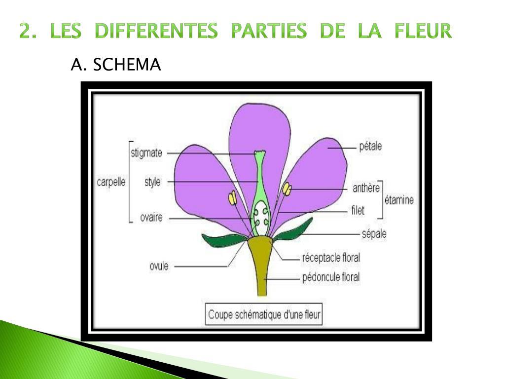 Ppt - La Fleur Powerpoint Presentation, Free Download - Id pour Schéma D Une Fleur