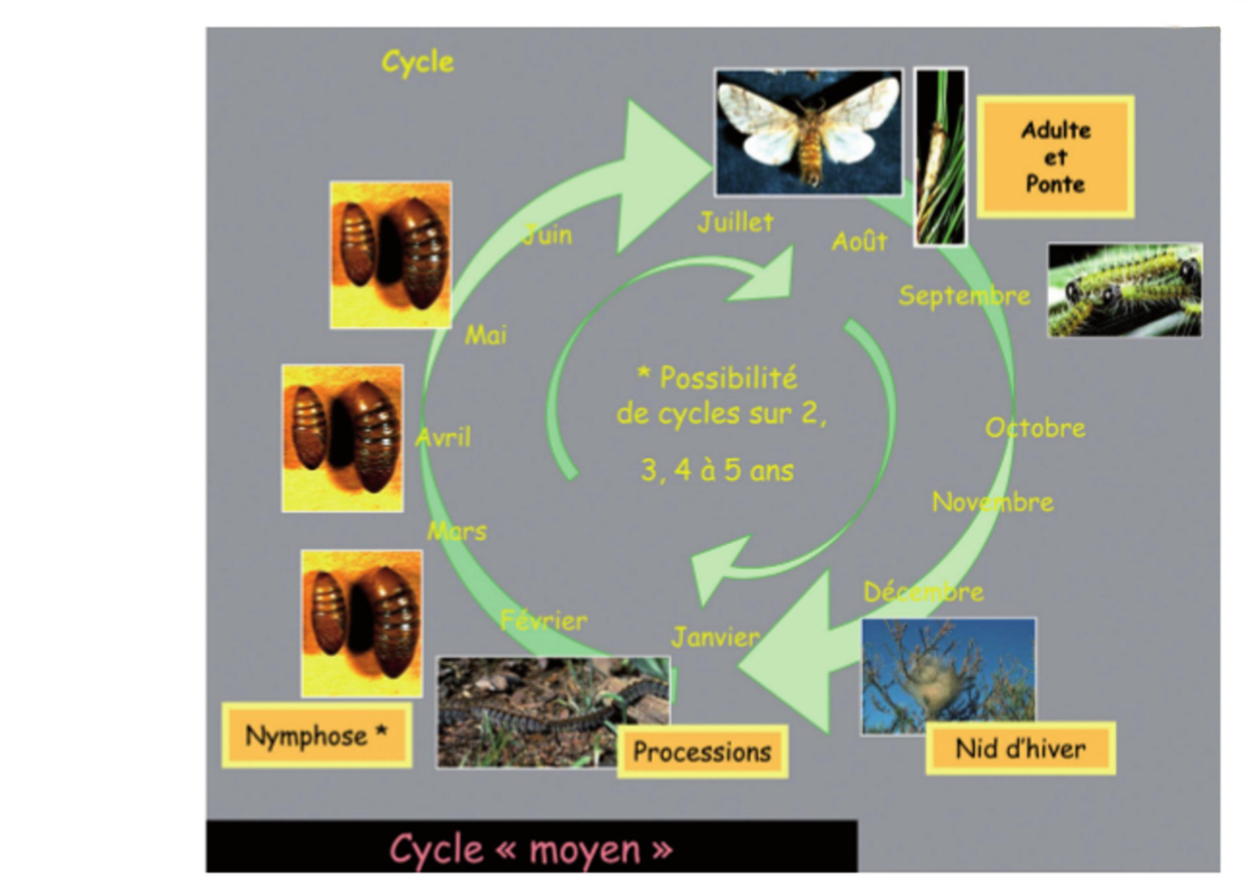 Processionnaire Du Pin - Maladie Arboricole concernant Cycle De Vie D Une Chenille