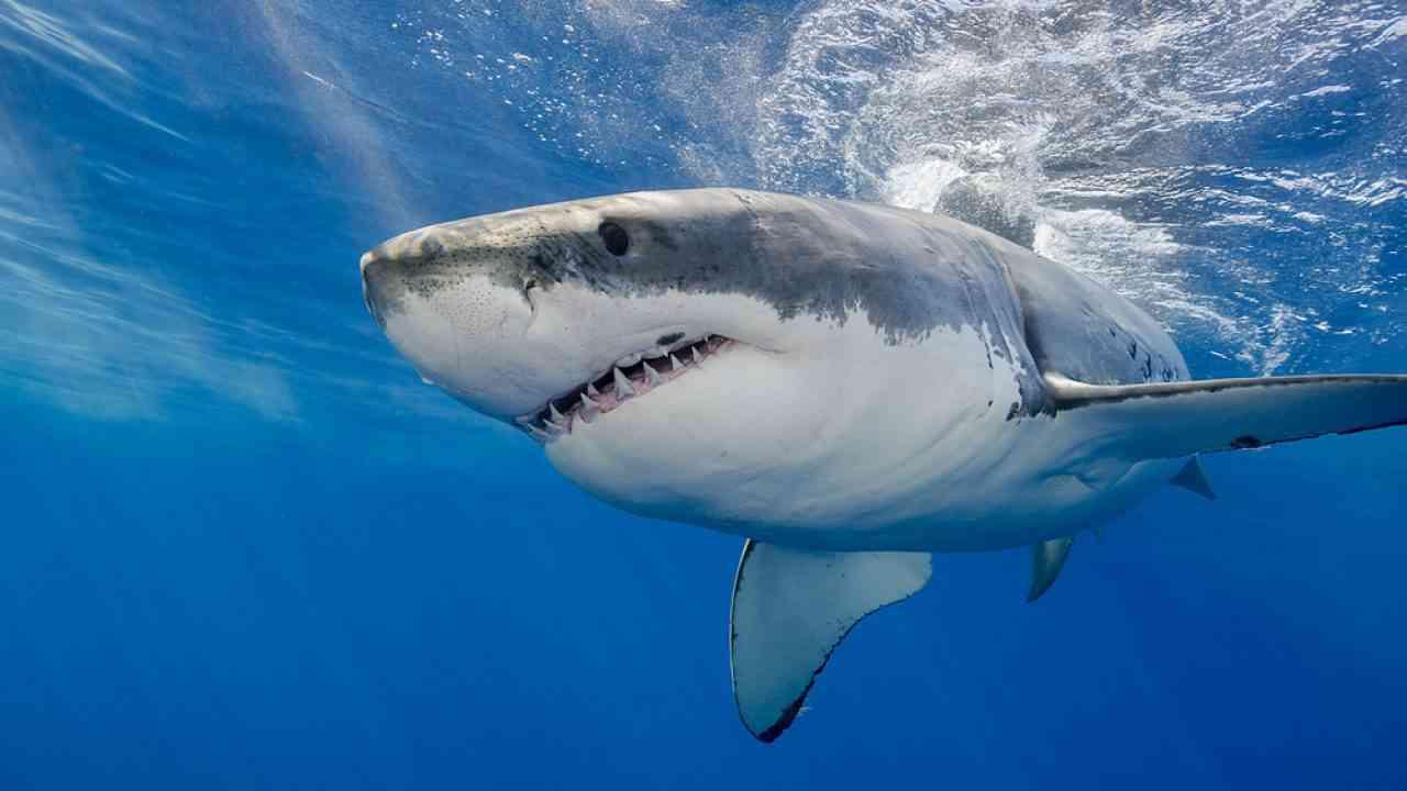 Rosie, L'étrange Histoire Du Grand Requin Blanc Oublié Dans dedans Jeux Gratuit Requin Blanc