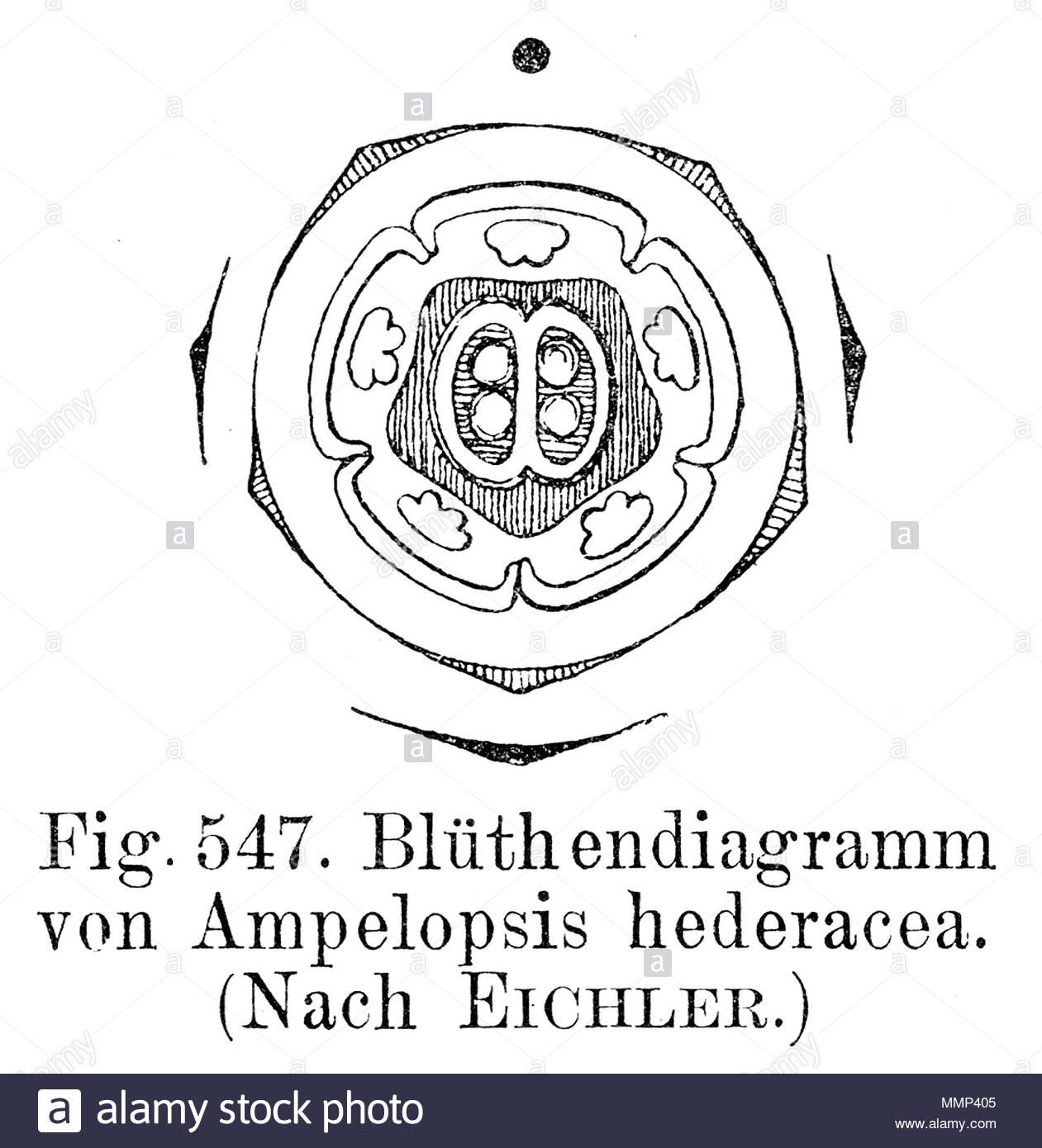 Schéma D'une Fleur D'ampelopsis Hederacea (Parthenocissus tout Schéma D Une Fleur