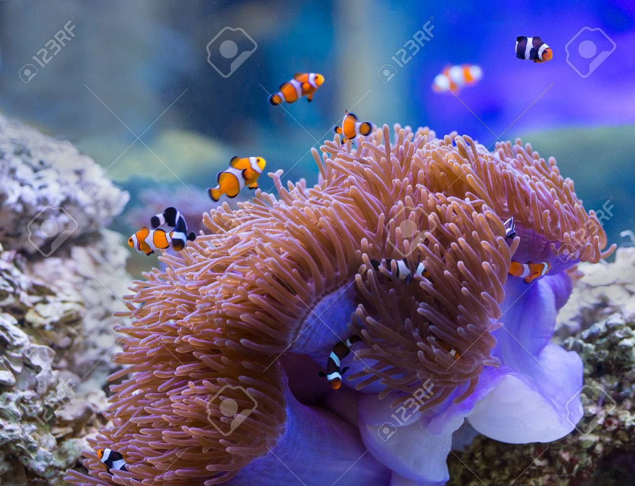 Sea Anemone And Anemone Fish concernant Anémone Des Mers