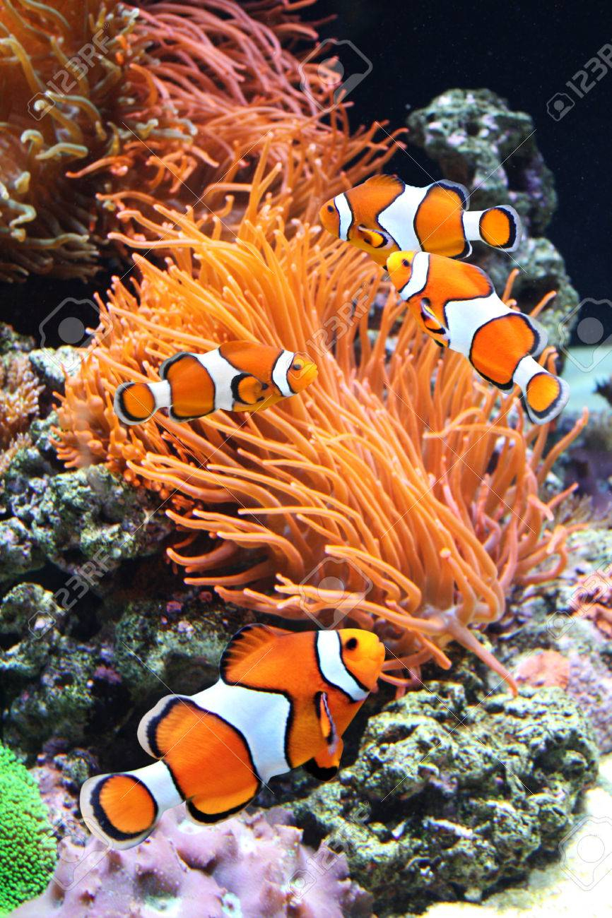 Sea Anemone And Clown Fish In Marine Aquarium concernant Anémone Des Mers