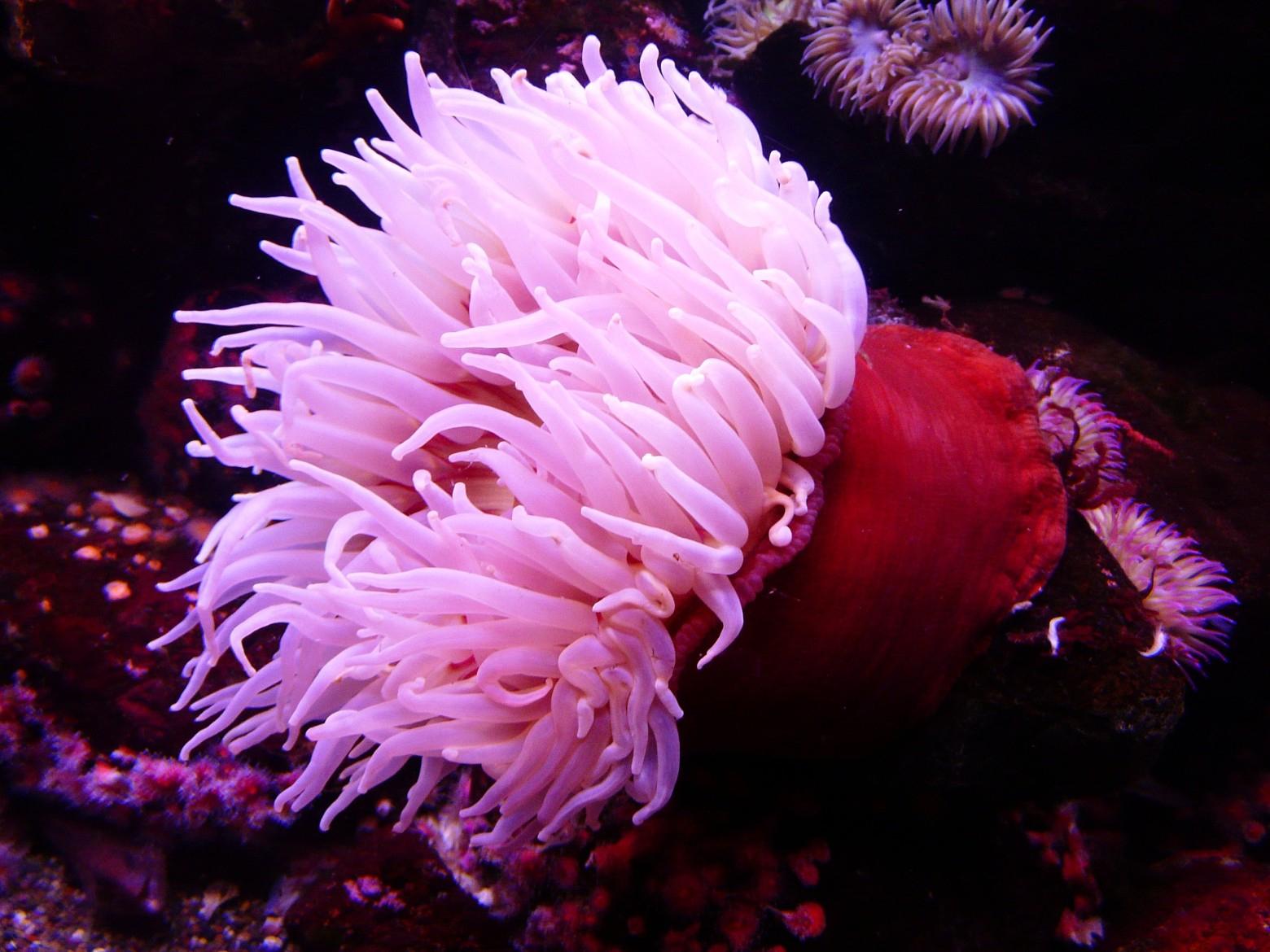Sea Anemones encequiconcerne Anémone Des Mers