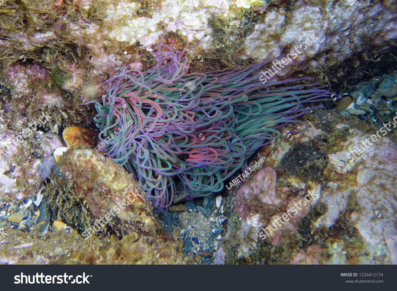 Snakelocks Anemone Anemonia Viridis Banyulssurmer à Anémone Des Mers