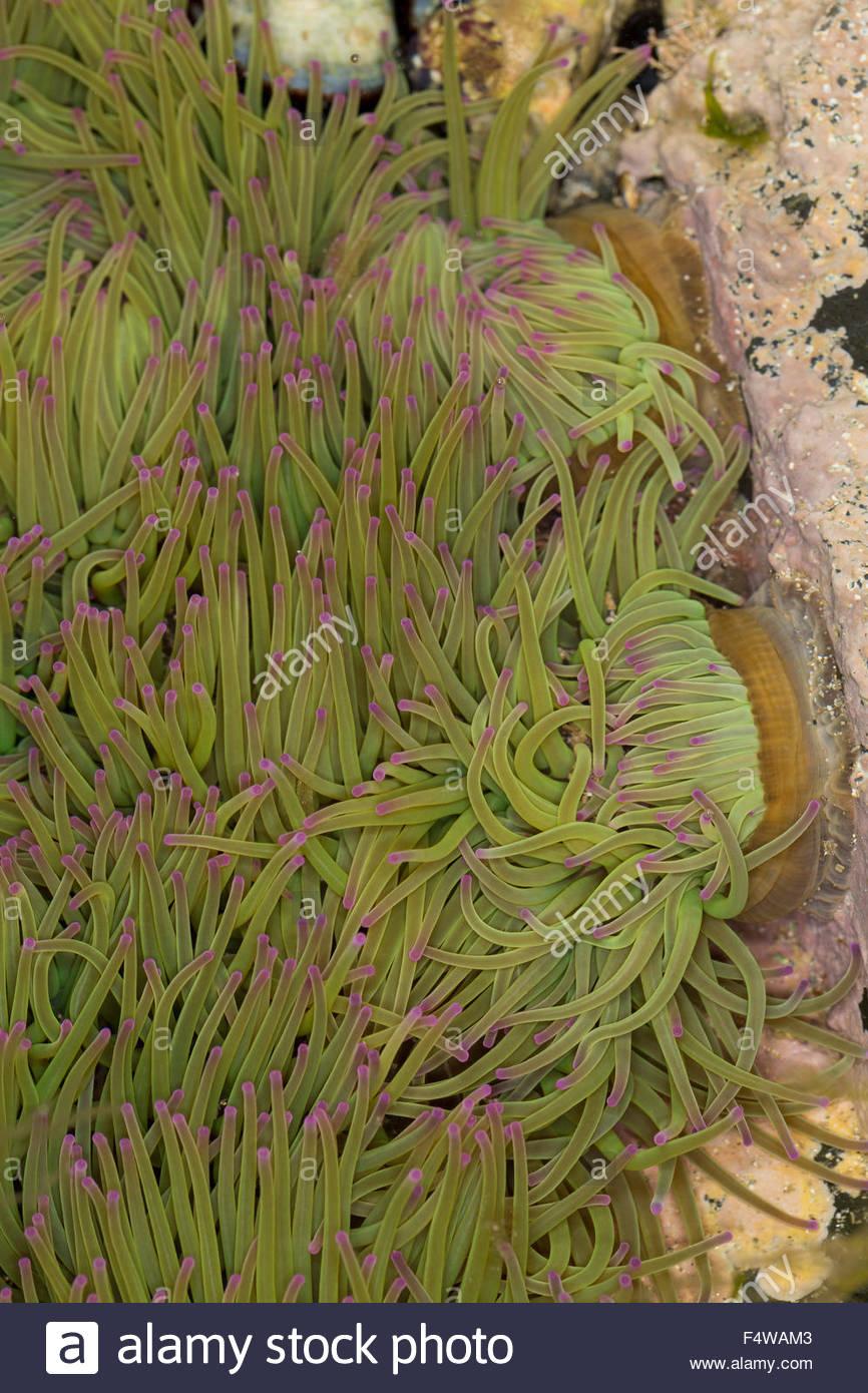 Snakelocks Anemone, Wachsrose, Anemonia Viridis, Anemonia dedans Anémone Des Mers