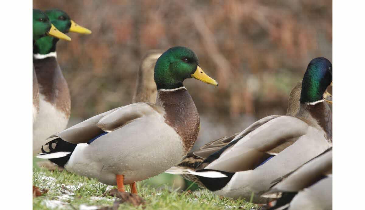 Sortir Jura | Partez À La Découverte Des Oiseaux Qui à Les Animaux Qui Hivernent