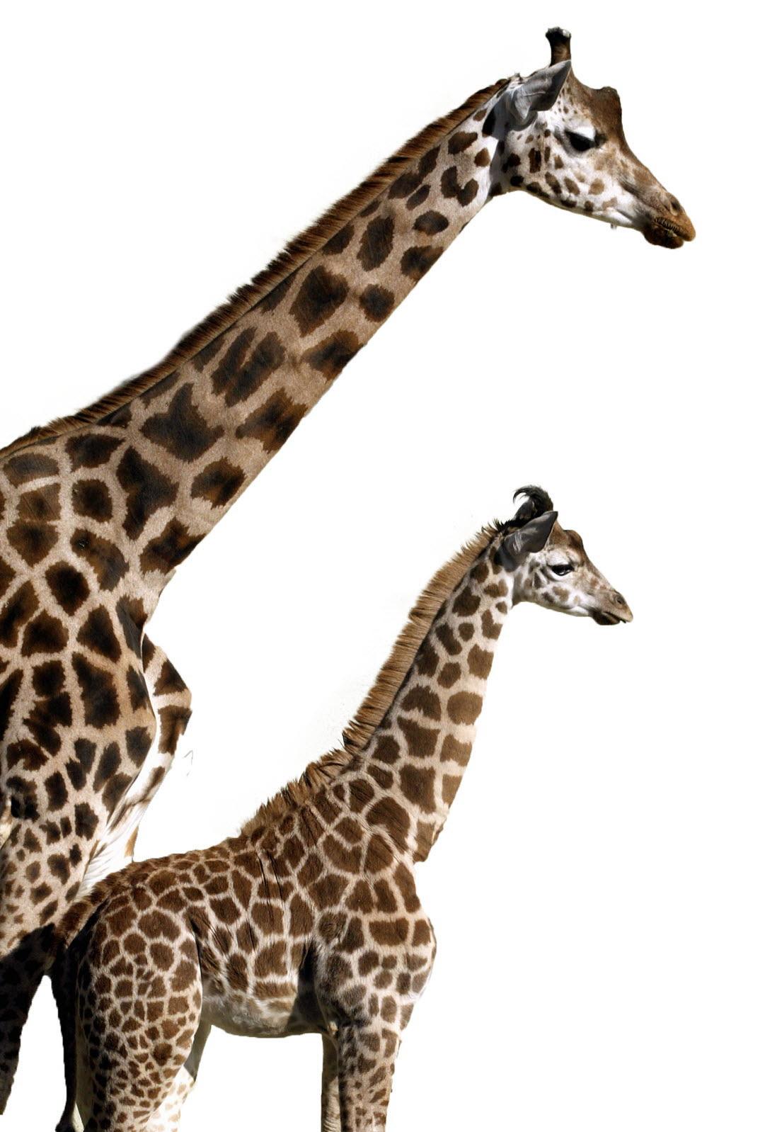 Sortir Rhône | C'est La Fête À La Girafe ! à Jeux De Girafe Gratuit