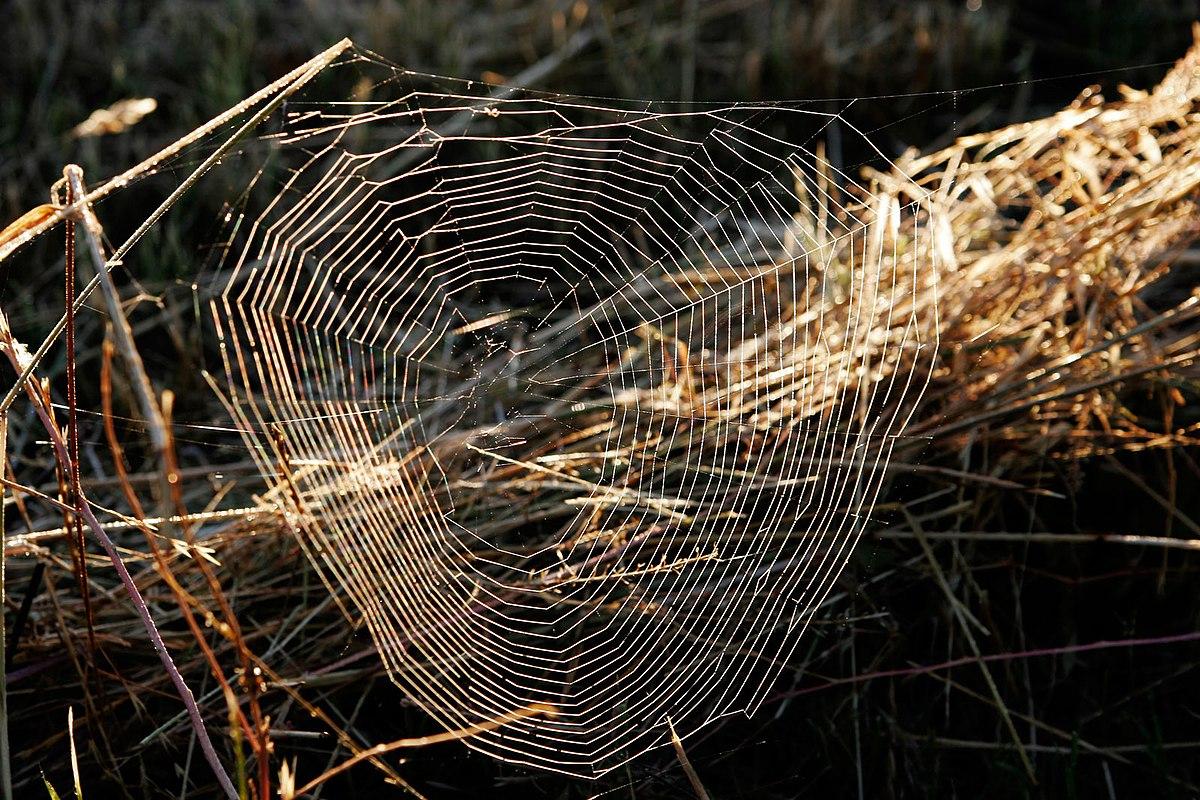 Toile D'araignée — Wikipédia à Toile D Araignée Dessin