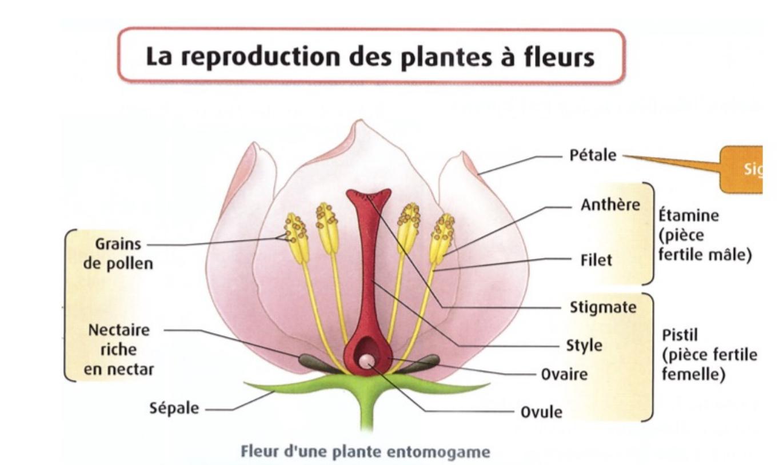 Ts, Chapitre 2: La Reproduction Des Plantes À Fleurs tout Schéma D Une Fleur