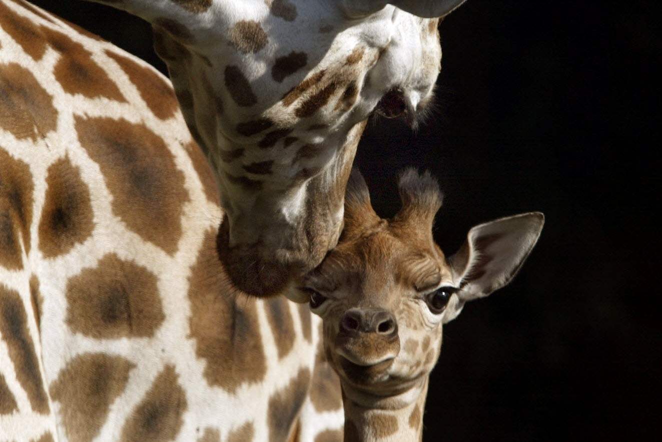 Villeurbanne | On Fête La Girafe concernant Jeux De Girafe Gratuit