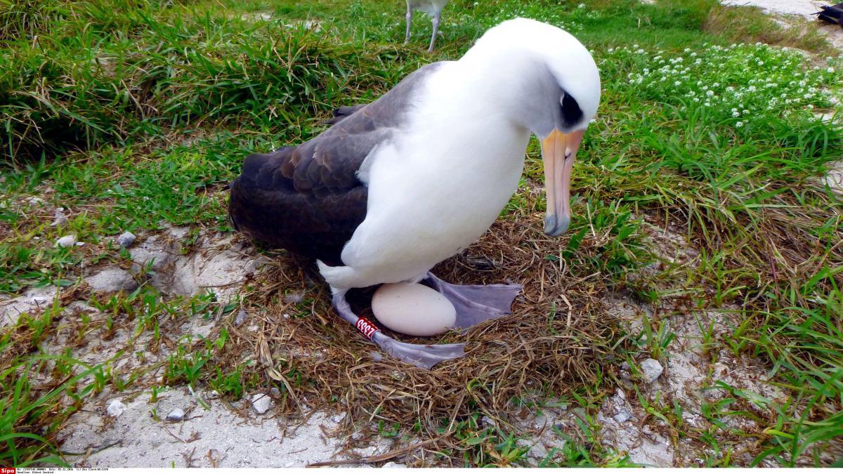 Wisdom, L'albatros Qui Pond Encore Des Œufs À 66 Ans pour Animaux Qui Pondent Des Oeufs