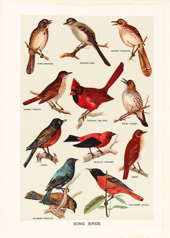 1903 Bird Print - Song Birds - Vintage Antique Art tout Animaux Ovipares Liste