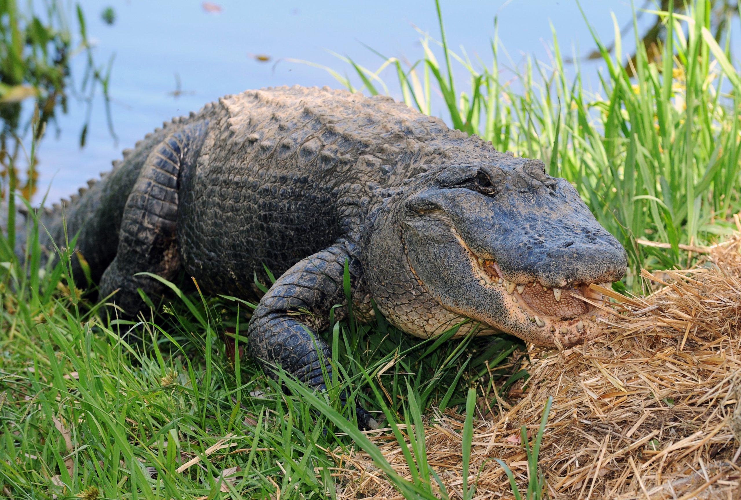 A 80 Ans, Il Combat Contre Un Alligator Dans Son Jardin intérieur Mots Gator