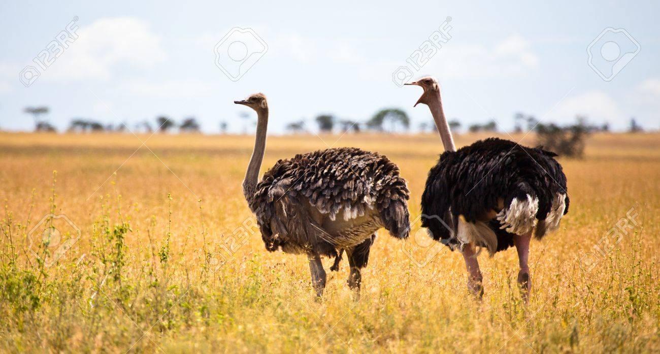 A Male Ostrich Calls Into The Back Of A Females Head Giving The.. destiné Male De L Autruche