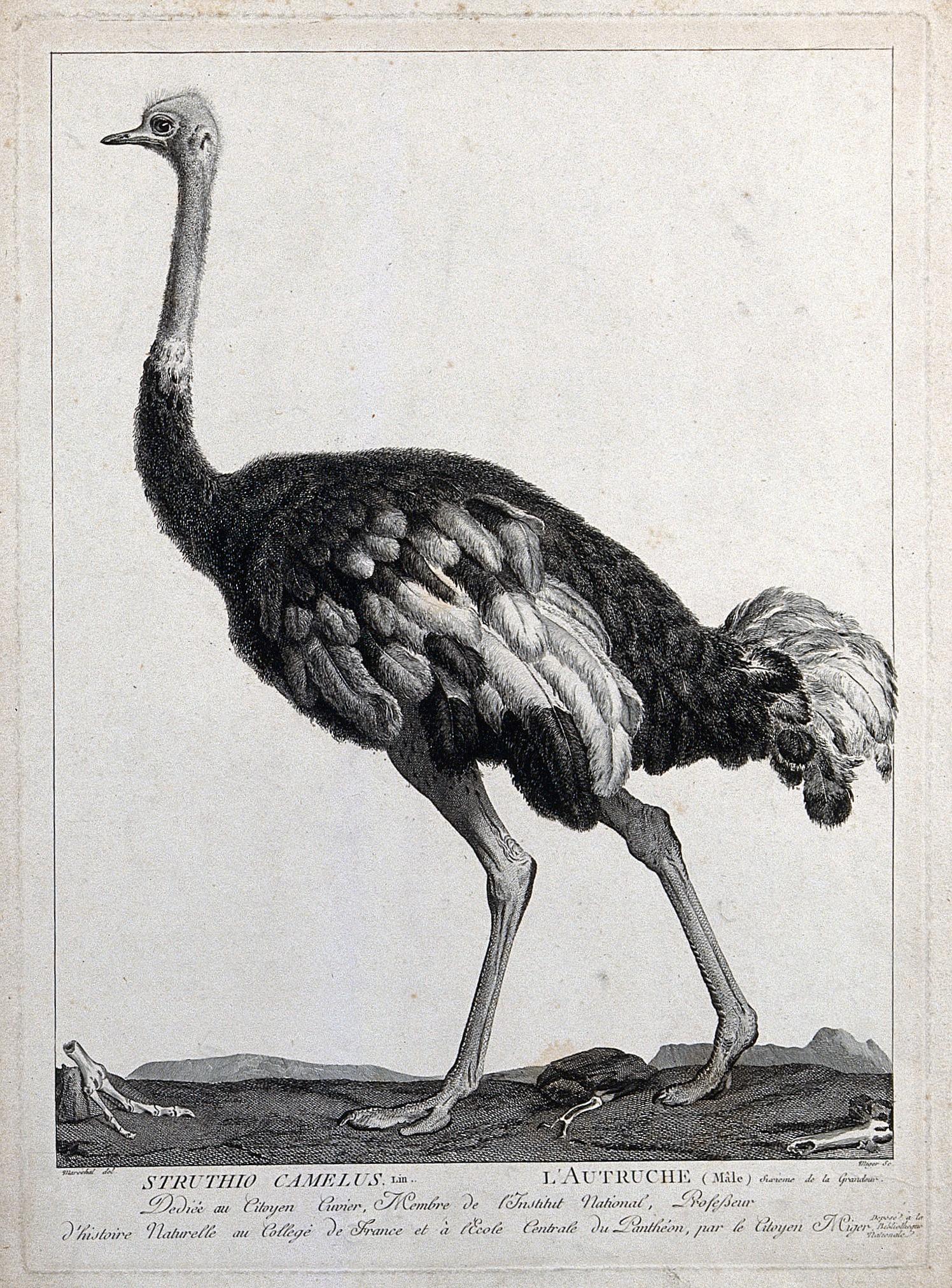 A Male Ostrich (Struthio Camelus). Etching By S. C. Miger serapportantà Male De L Autruche